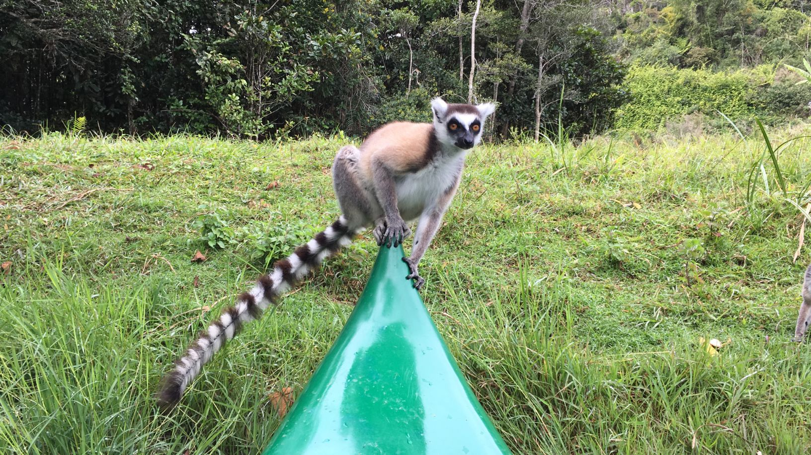 This cute little ringtail lemur jumped on our kayak.