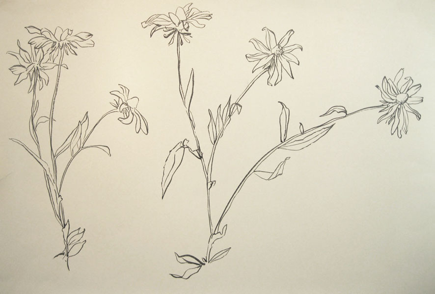 Daisy Flower Line Drawing : Lynnpalumbo drawings from nature