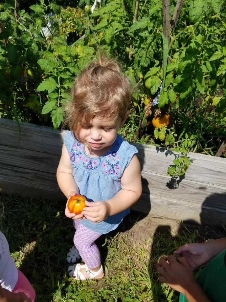 2017 preschool garden tomato 8-2017jpg